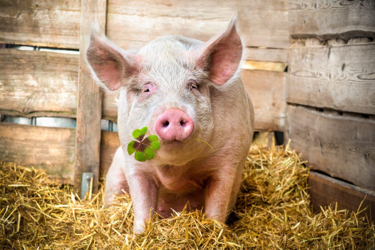 Neues Hotel für Schweine – damit's unseren Tieren gut geht …